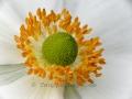 anemone-kl-wz