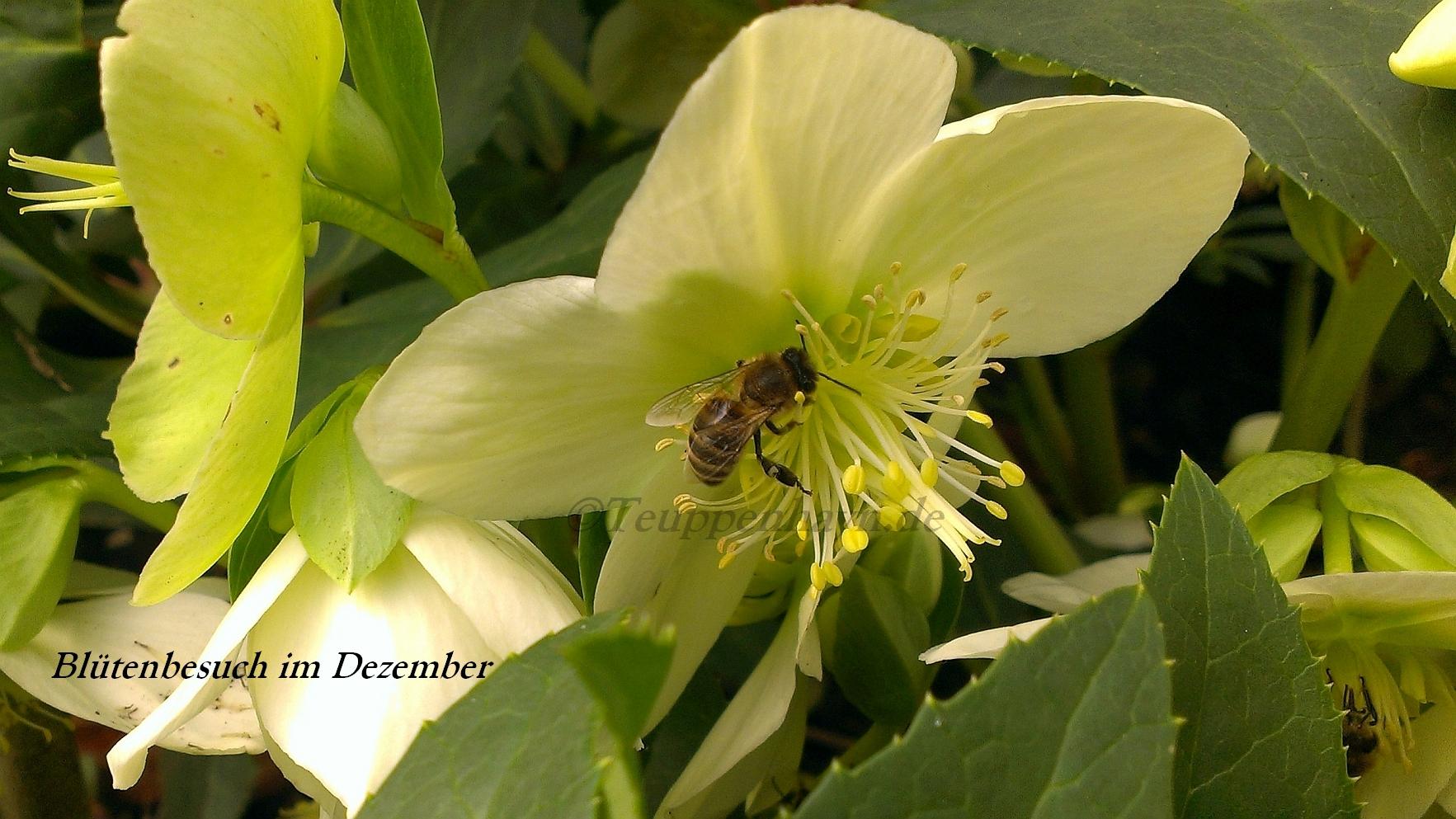 Christrose mit Biene