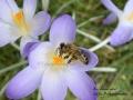Biene im Elfenkrokus